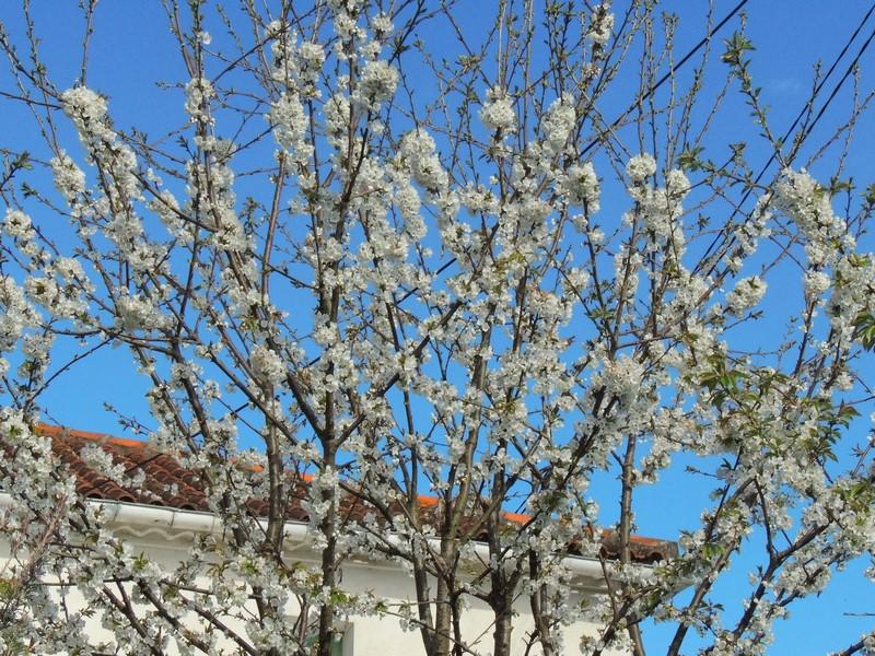 Le Printemps est arrivé! Les cerisiers sont en fleurs