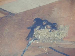 Les petites hirondelles encore dans le nid