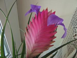 Tillandsia Cyanéa Cette fleur a mis deux ans pour éclore